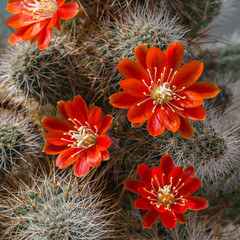 Cactus Aylostera.