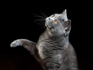 британская кошка за игрой