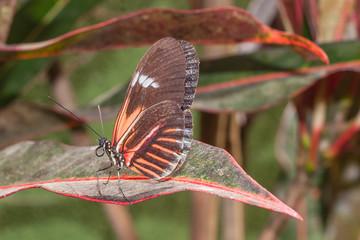 Amazing Cattleheart Swallowtail, butterfly, amazonian rainforest