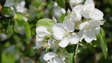 Branch of a blossoming apple-tree close-up