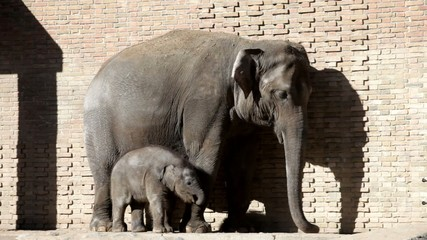 elephant and baby elephant calf in open open-air cage of a zoo