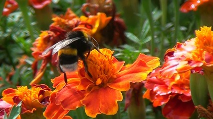 Bumblebee on a flower, summer day