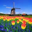 Leinwanddruck Bild - Colorful spring flowers with classic windmill, Netherlands