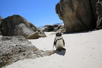 Jackass Penguin. Boulder Beach. South Africa