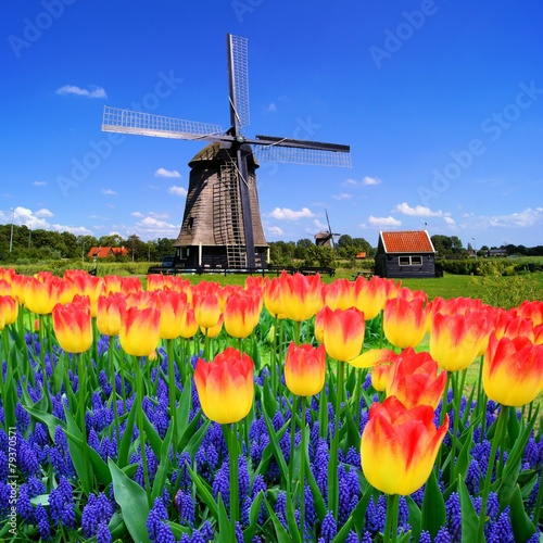 Leinwanddruck Bild Colorful spring flowers with classic windmill, Netherlands