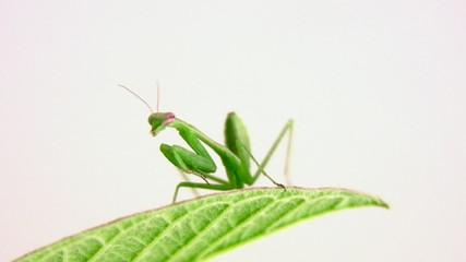 Baby Mantis On Leaf Moves