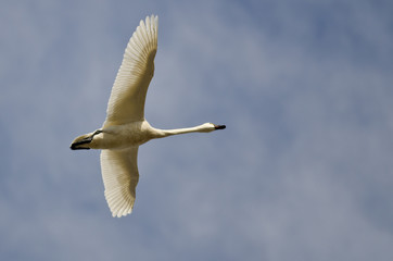 Lone Tundra Swan Flying in a Cloudy Sky