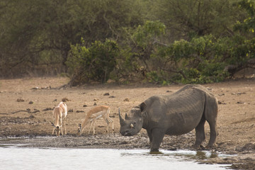 black rhinoceros in the riverbank, Kruger