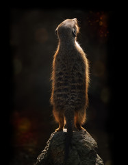 Meerkat At Sunset