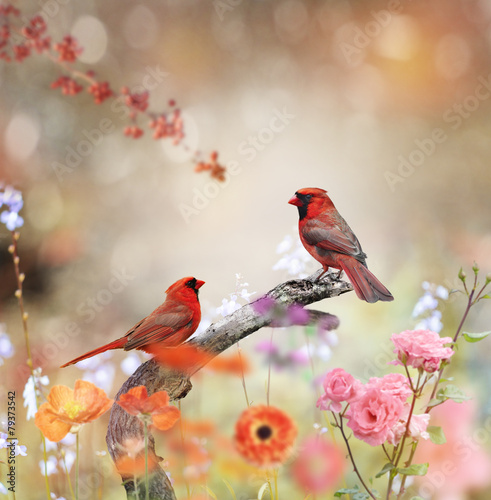 Fotobehang Vogel Northern Cardinals