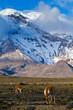 Chimborazo volcano in andean Ecuador - 79375177