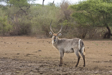 waterbuck on the riverbank at kruger, South Africa