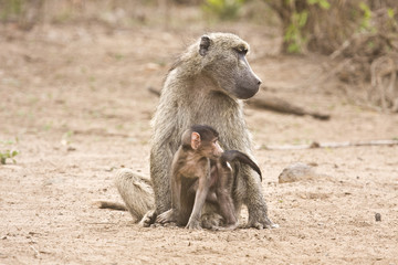 mother and baby baboon at Kruger national park