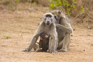 family of baboons at kruger national park