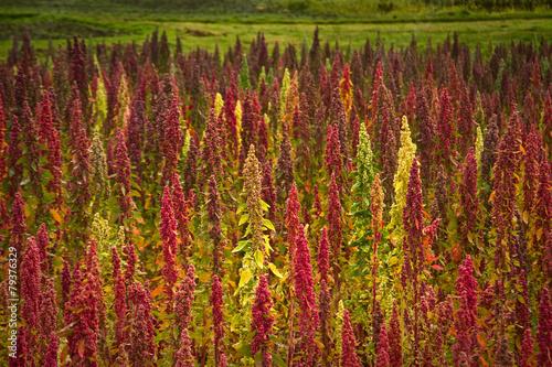 Quinoa plantations in Chimborazo, Ecuador - 79376329