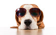 dog in sunglasses isolated on white