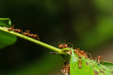 red ants teamwork