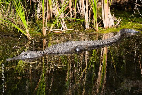 Foto op Plexiglas Krokodil Crocodile in the Everglades National Park