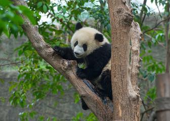 Panda bear climbing tree