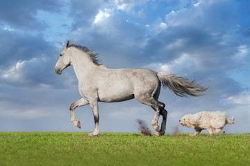 Beautiful grey trotter horse run with dog at the meadow
