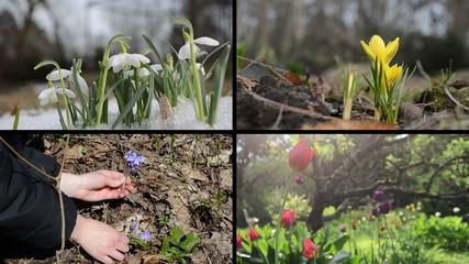 Snowdrop saffron violet and tulip flowers. Video clips collage
