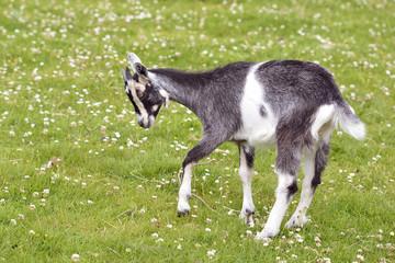 Juvenile goat on grass