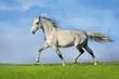 Beautiful grey trotter horse run at the meadow