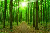 Fototapeta sunlight forest