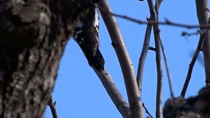 Woodpecker on a tree