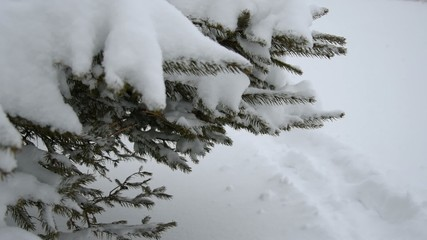 Branch of fir-tree with snow during winter. Selective focus.