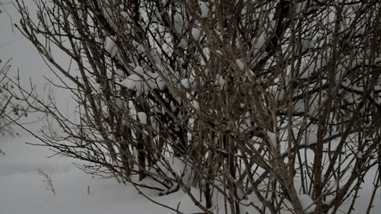 Branch of tree with snow during winter.
