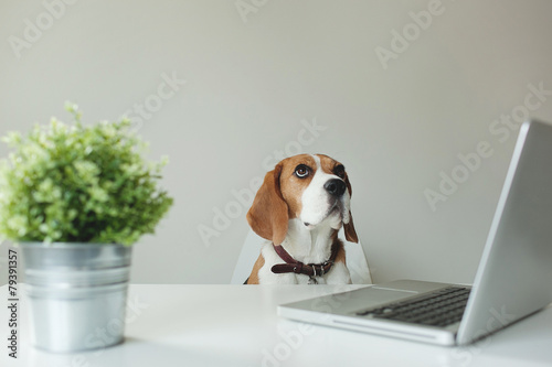 Beagle dog at office table with laptop