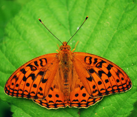 Retro Vlinder