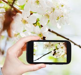 tourist taking photo of bee on cherry flowers