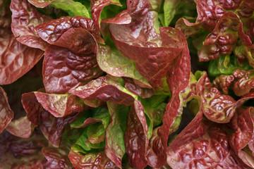 Lettuce, Batavia  Red Green