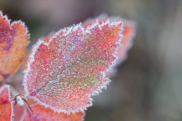 Hoarfrost Leaf