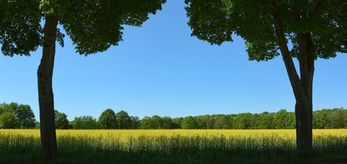 Two outline of trees on the background of the rapeseed field
