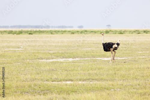 Fotobehang Struisvogel Ostrich in Amboseli, Kenya