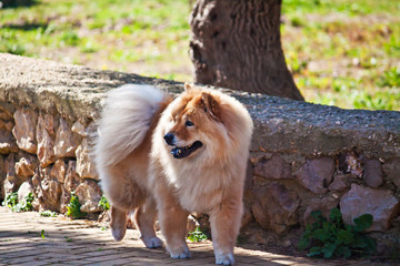 chow chow at the park