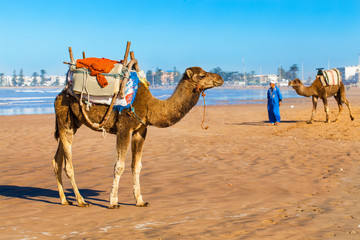 Camels on the beach in Essaouira, Morocco