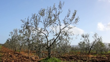 Olive trees in Tuscan countryside