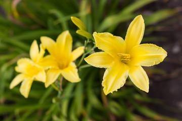 Цветок желтый. Лилейник жестый.
