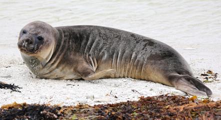 New Zealand sea lion at beach near Kaikoura (New Zealand)