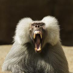 Baboon Staring at Camera and Yawning