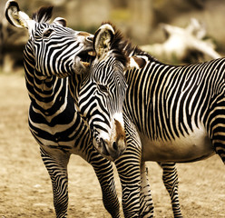 Closeup of two adolescent zebras playing