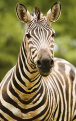 Portrait of zebra staring at camera