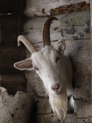 goat's head is in a hole of wooden wall
