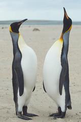 King Penguins (Aptenodytes patagonicus) Greeting