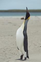 King Penguin (Aptenodytes patagonicus) Calling