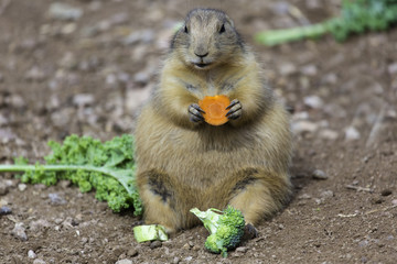 Closeup of Prairie Dog with Eating Vegetables